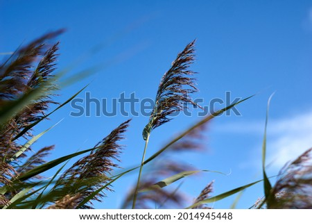 Pampas grass with blue sky and clouds at sunny day. Landscape with dried reeds and grass. Natural background, outdoor, golden colors. Royalty-Free Stock Photo #2014945448