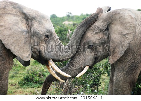 Elephants at Addo Elephant Park, Eastern Cape, South Africa Royalty-Free Stock Photo #2015063111