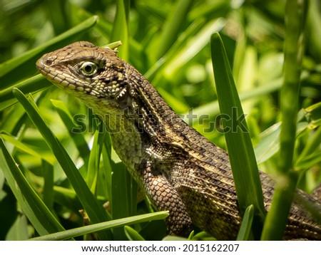 South Florida Reptiles Urban Environment Royalty-Free Stock Photo #2015162207