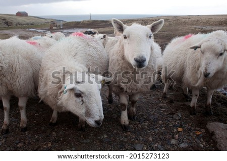 Sheep on Lewis and Harris island Scotland, Great Britain. Ovis aries  are quadrupedal, ruminant mammals kept as livestock. Like most ruminants, are members of the order, the even-toed ungulates. Royalty-Free Stock Photo #2015273123