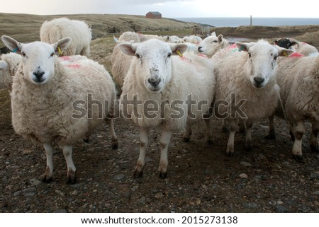 Sheep on Lewis and Harris island Scotland, Great Britain. Ovis aries  are quadrupedal, ruminant mammals kept as livestock. Like most ruminants, are members of the order, the even-toed ungulates. Royalty-Free Stock Photo #2015273138