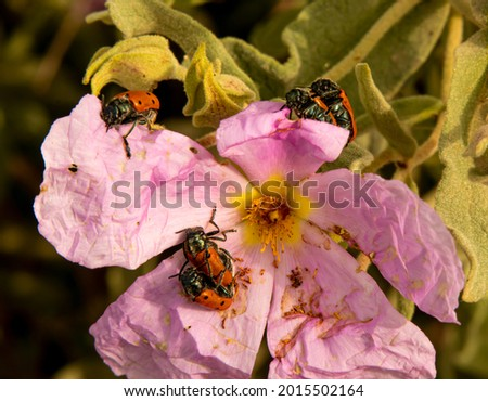 Arthropod pairs mating on the same flower. Royalty-Free Stock Photo #2015502164