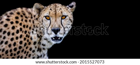 Template of a cheetah with a black background
