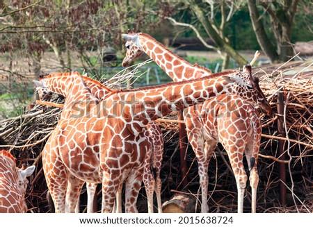 Group of Giraffes . Amazing animals in the savanna . Wild African herbivorous animals Royalty-Free Stock Photo #2015638724