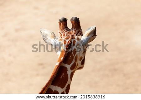 Rear view of giraffe head . Wild herbivorous animal . Animal head with small horns Royalty-Free Stock Photo #2015638916