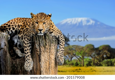 Leopard sitting on a tree on a background of Mount Kilimanjaro