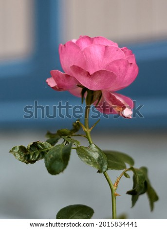 Pink rose flower in the rose garden. side view. Soft focus.High quality photo Royalty-Free Stock Photo #2015834441