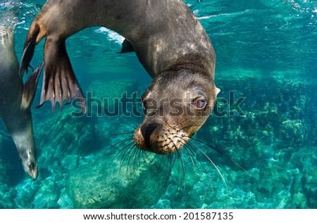 The Californian sea lions of Mexico's Baja California #201587135