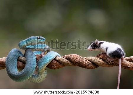 Blue Viper Snake as top predator ready to strike his prey  mouse Royalty-Free Stock Photo #2015994608