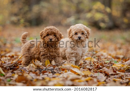 Two little brown poodles. Small puppy of toypoodle breed. Cute dog and good friend. Dog games, dog training. Be my friend. Royalty-Free Stock Photo #2016082817