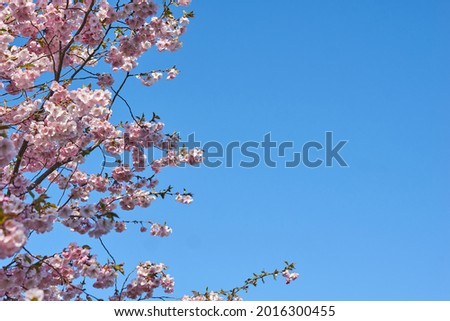 Sakura, Pink cherry blossom on background blue sky. Space for text. High quality photo