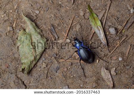 The blue ground beetle (Carabus intricatus) Royalty-Free Stock Photo #2016337463
