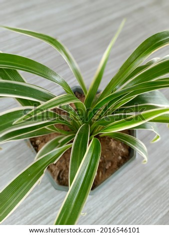 Wan rich man outside the house It is classified as a special auspicious in terms of enhancing luck, enhancing fortune, such as Wan Metta Mahaniyom. Aloe Vera and that enhance the fortune