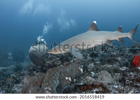 White tip reef shark swims over hard coral  reef closeup, in Gili Trawangan Island, Lombok, Indonesia