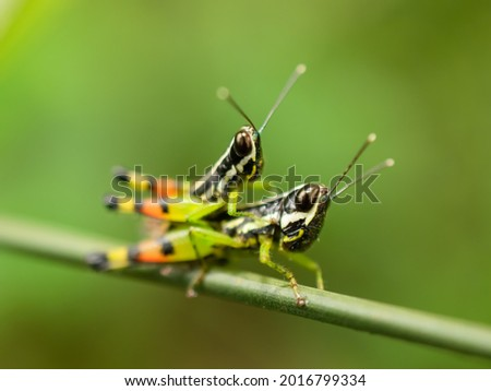 a mother grasshopper carrying her child