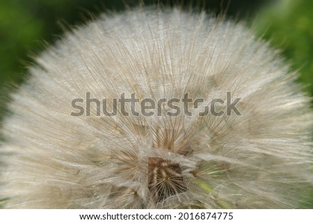 Dandelion seeds close up.White fluffy Dandelions, natural green blurred spring abstract background.Beautiful Dandelions.Picture for screensaver, wallpaper, card design, cover printing.horizontal photo