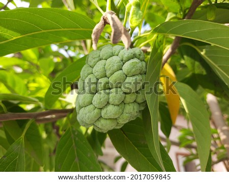 sugar apple tree High Res Stock Images