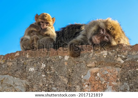 A wonderful picture family of monkeys from the top of Bejaia province