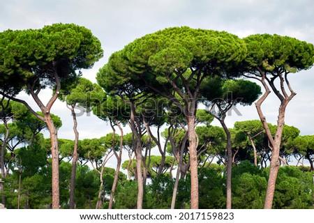 Stone pine trees, botanical name Pinus pinea, aka Italian stone pine, umbrella pine and parasol pine, in Rome, Italy Royalty-Free Stock Photo #2017159823