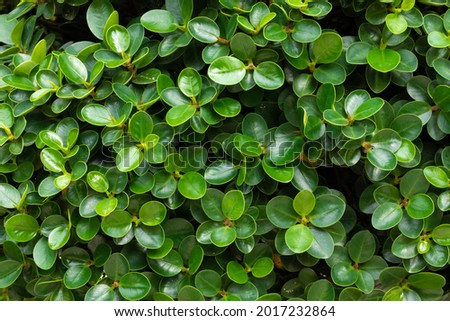 Close-up of the green leaves of the Buxus plant. Woody plant, family Buxaceae. It is used as an ornamental plant in gardens Royalty-Free Stock Photo #2017232864
