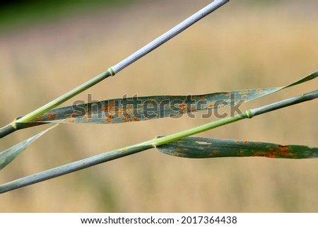 Stem rust, also known as cereal rust, black rust, red rust or red dust, is caused by the fungus Puccinia graminis, which causes significant disease in cereal crops Royalty-Free Stock Photo #2017364438