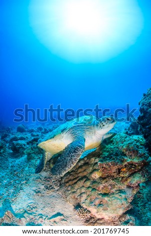 Environmental Damage -  A Green Turtle on a bleached, dead, coral reef with a sunburst behind #201769745