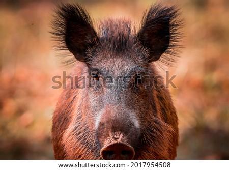 big boar looking at camera