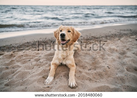 Golden retriever sitting on the sand beach of the Baltic Sea. Concept for the summer adventures of purebreed dog at the seaside vacation. Royalty-Free Stock Photo #2018480060