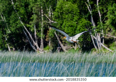Pelican at Child's Lake in Duck Mountain Provincial Park, Manitoba, Canada Royalty-Free Stock Photo #2018835350
