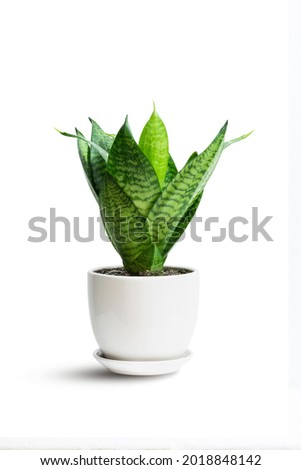 Snake Plant green leaf in white ceramic pot isolated on white. hahnii green tree popular ornamental house plant air purifying for home minimal design. Sansevieria trifasciata hort. Royalty-Free Stock Photo #2018848142