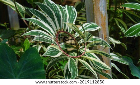 Green variegated leaves of spiral ginger or crepe ginger with red stem (Costus speciosus Variegata) the tropical plant with nature background Royalty-Free Stock Photo #2019112850