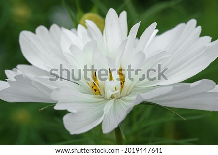 beautiful white cosmos flower in the garden             Royalty-Free Stock Photo #2019447641