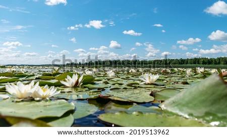 beautiful aquatic vegetation at the river bank on a sunny summer day, the lotus background photo is very beautiful in a water pot, Salaca river, Burtnieki lake, Latvija Royalty-Free Stock Photo #2019513962