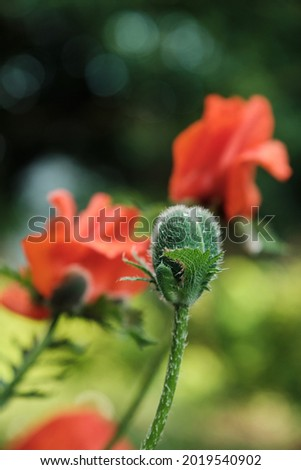 Oriental poppy bud. Oriental poppy flower. Papaver orientale is magnificent perennial plant in the garden. Close up photo Royalty-Free Stock Photo #2019540902