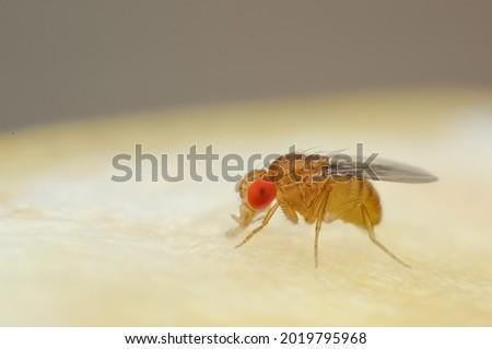 Fruit fly or vinegar fly (Drosophila melanogaster) on the surface of a banana. Royalty-Free Stock Photo #2019795968