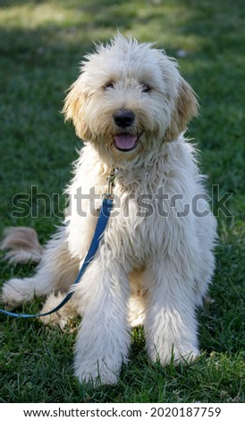 7-Month-Old Female Double Doodle Puppy, a hybrid combination of three breeds: Golden Retrievers, Poodles, and Labrador Retrievers. Royalty-Free Stock Photo #2020187759