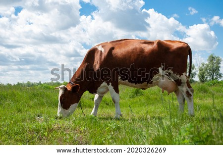 Grazing in a meadow in the village. Rural beautiful landscape.Livestock pastures. A cow grazes on a green field in the countryside. Royalty-Free Stock Photo #2020326269