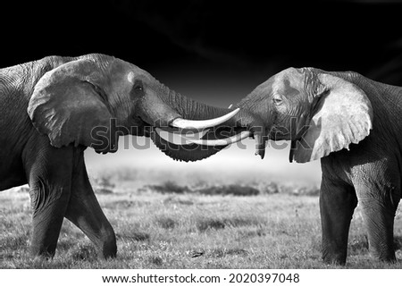 Artistic , black and white portrait of two huge african elephants, large tuskers, standing opposite each other, touching trunks. High contrast, side view, dark background. Kenya, Amboseli safari. Royalty-Free Stock Photo #2020397048