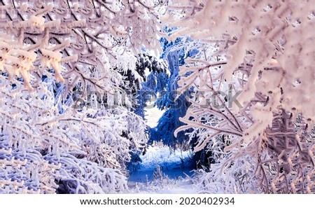 Snow tunnel made of trees in a winter forest. Winter snow tunnel. Winter snow scene. Snowy winter forest trees Royalty-Free Stock Photo #2020402934