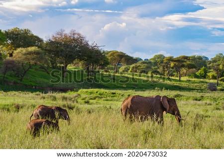 The beautiful elephants on the grassy field in the Tarangire National Park, Tanzania Royalty-Free Stock Photo #2020473032