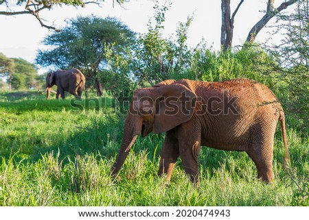 A beautiful elephant on the grassy field in the Tarangire National Park, Tanzania Royalty-Free Stock Photo #2020474943