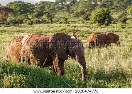 The beautiful elephants on the grassy field in the Tarangire National Park, Tanzania Royalty-Free Stock Photo #2020474976