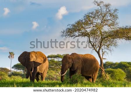 The beautiful elephants on the grassy field in the Tarangire National Park, Tanzania Royalty-Free Stock Photo #2020474982