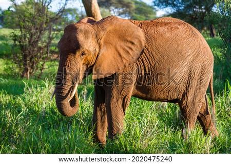 A beautiful elephant on the grassy field in the Tarangire National Park, Tanzania Royalty-Free Stock Photo #2020475240