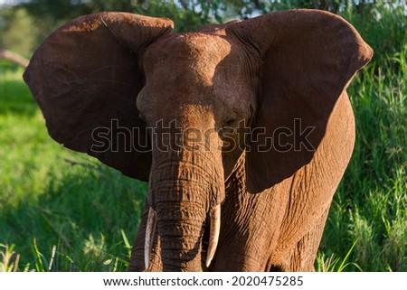 A beautiful elephant on the grassy field in the Tarangire National Park, Tanzania Royalty-Free Stock Photo #2020475285
