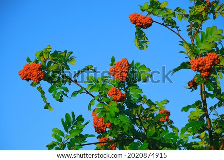 Red rowan berries on a rowan tree. with green leaves. A rowan tree on a branch. Ashberry. non-GMO.  low-growing woody plants of the apple family (Rosales) of the Pink family (Rosaceae). Royalty-Free Stock Photo #2020874915