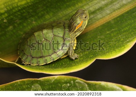 A red eared slider tortoise is basking before starting its daily activities. This reptile has the scientific name Trachemys scripta elegans. Royalty-Free Stock Photo #2020892318