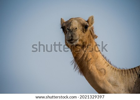 Close up of a camel Royalty-Free Stock Photo #2021329397