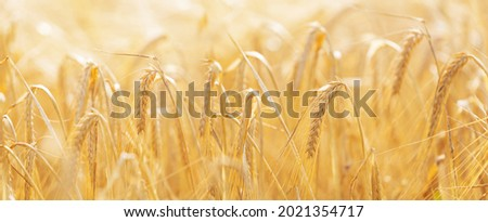 Ripening ears of barley in a field. Field of barley in a summer day. Harvesting period. Crops field. Rural landscape Royalty-Free Stock Photo #2021354717