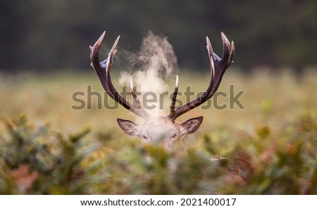 Red Deer stag roaring amongst the bracken in the countryside in the UK Royalty-Free Stock Photo #2021400017